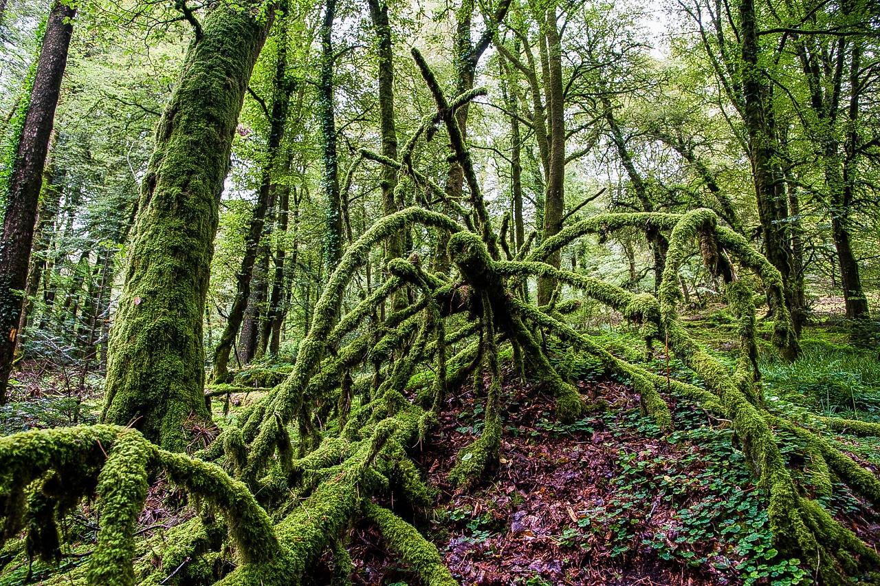 Majestueuse forêt avec de nombreux arbres recouverts de mousse